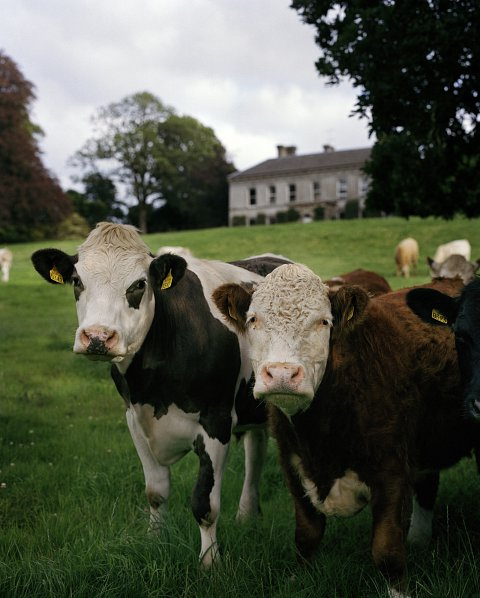Ballyvolane House, the place of leaping heifers
