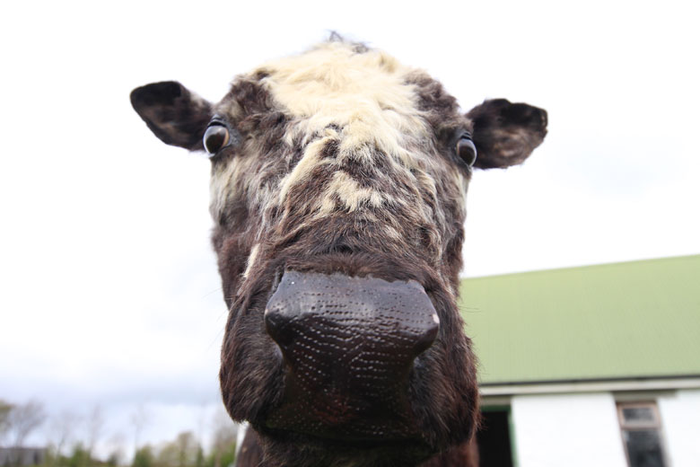 Big Bertha, the oldest cow in the world